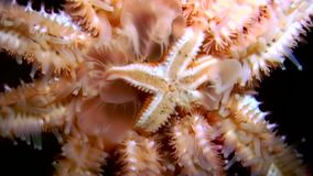 White starfish close up on black background underwater of sea. Unique amazing beautiful exotic macro video. Marine life on background of pure clear clean water stock video