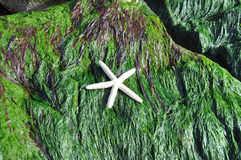 White starfish shell on rock covered in seaweed. White starfish on a rock covered in seaweed on the beach Stock Photos