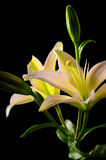 White stargazer lily flower Royalty Free Stock Photography