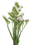 White statice flowers Stock Photos