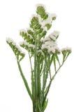 White statice flowers Stock Photos