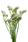White statice flowers Royalty Free Stock Images