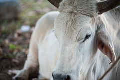White Steer. Resting on the ground under a tree stock photography