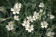 White stellaria delicate flowers. Stellaria growth in field, Caryophillaceae. Stellaria holostea flower royalty free stock photo