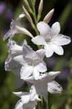 White stem of unidentified flowers. Its springtime in the garden, Sydney Australia Stock Photo