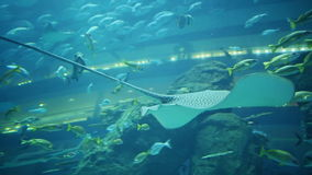 White stingray Manta swims in aquarium. White stingray Manta swims in underwater Aquarium Dubai Mall stock video footage