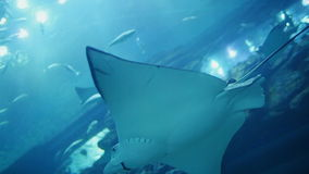 White stingray Manta swims in underwater Aquarium. Dubai Mall stock video footage