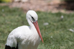 White Stock Resting. A beautiful white stock resting its long orange beak on its breast Stock Images