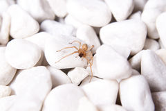 White stone with brown spider. White stone on the beach with brown spider Royalty Free Stock Images