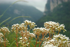 White stonecrop. (sedum album) in pyrenees Royalty Free Stock Image