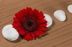 White Stones with Red Gerber. On Brown Sand Stock Image