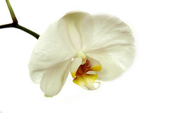 white storczykowy Obraz Stock