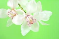 white storczykowy Obraz Royalty Free