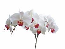 white storczykowy Zdjęcie Royalty Free