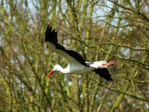 White stork. Royalty Free Stock Image