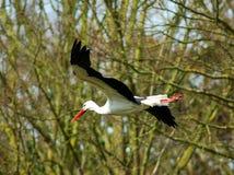 White stork. A white stork flying Royalty Free Stock Image