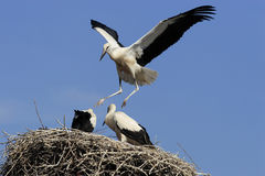 White stork Royalty Free Stock Image