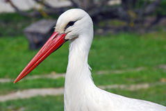 White Stork. Portrait of a whithe stork taken in the eco-museum in Alsace-France Stock Photo