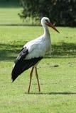 White stork. Walks across green meadow royalty free stock photo