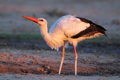 White stork stock images