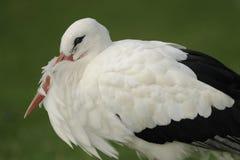 White stork Stock Photo