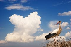 White Stork. On nest with beautiful sky as background Royalty Free Stock Photos