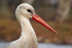 White Stork Stock Photos