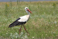 White stork Royalty Free Stock Images
