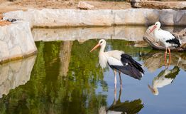 A white stork Royalty Free Stock Photos
