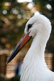 White Stork. Head of White Stork (Ciconia ciconia Royalty Free Stock Images