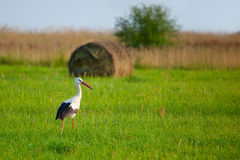White stork. (Ciconia ciconia) in the green meadow Stock Photos