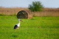 Free White Stork Stock Photos - 21626553