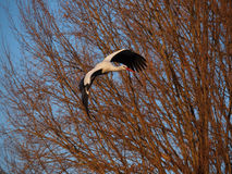 White Stork. A white stork flies free in the sky in late afternoon Stock Photography