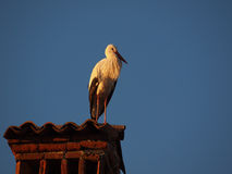 White stork. Controls the surroundings from above a chimney of a house Stock Images
