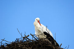 White-Stork Royalty Free Stock Photo