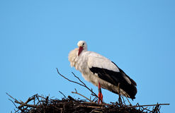 White-Stork Stock Photos