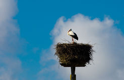 White-Stork Royalty Free Stock Image