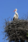 White stork Stock Photos