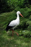 White stork. At green meadow Royalty Free Stock Photography