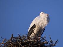 White stork. In the nest Stock Images