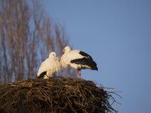 White stork. Two white stork in the nest Stock Photo