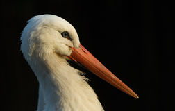 White stork. Portrait of a white stork (Ciconiidae stock photography