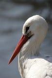 White Stork Royalty Free Stock Photos