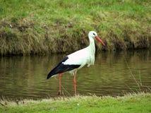 Free White Stork Stock Photos - 8337433