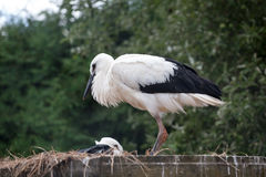 White stork baby birds in a nest, Ciconia ciconia Royalty Free Stock Images