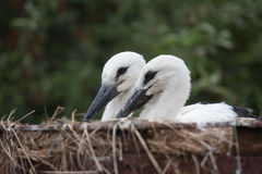 White stork baby birds in a nest, Ciconia ciconia Royalty Free Stock Photography