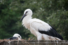 White stork baby birds in a nest, Ciconia ciconia Stock Photography