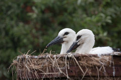 White stork baby birds in a nest, Ciconia ciconia Royalty Free Stock Image