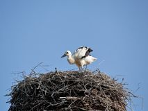 White stork baby birds in a nest. The white stork young baby birds costs in a big nest from rods Royalty Free Stock Photo