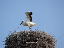 White stork with baby birds in a nest. The white stork young baby birds costs in a big nest from rods Royalty Free Stock Image
